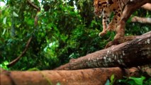 Voici le Clouded Leopard, un félin magnifique qui va vous faire aimer les félins !
