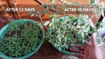 How to Grow Tomato at Home (Easiest Method Ever With Updates)-Bz05p-tGB60