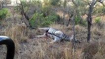 Ce Leopard est aspergé des fluides gastriques de ce Zèbre alors qu'il le mange !