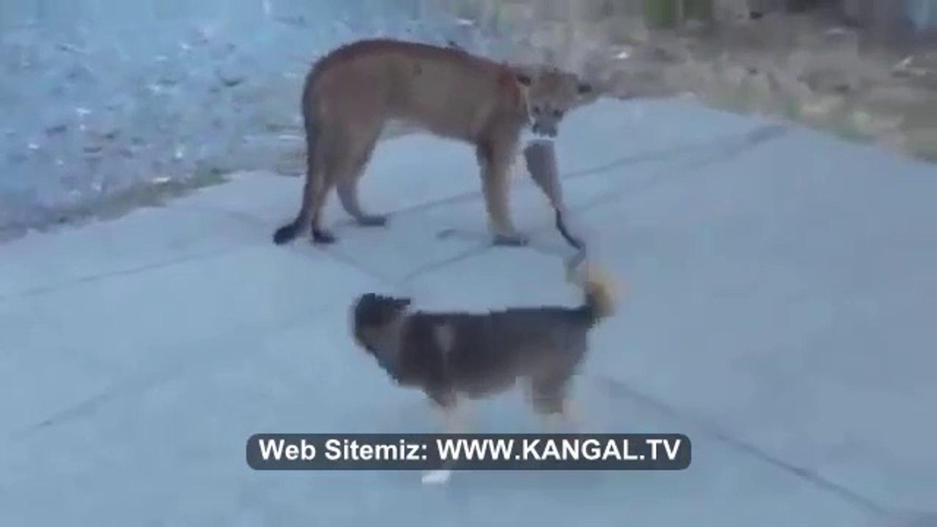 PUMA vs SiBiRYA KURDU ve ALMAN KURDU - PUMA vs SiBERiAN HUSKY and GERMAN SHEPHERD DOG