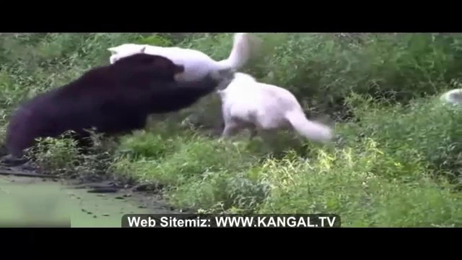 KURTLARIN AYIYA SALDIRISI - WOLVES BEAR ATTACK