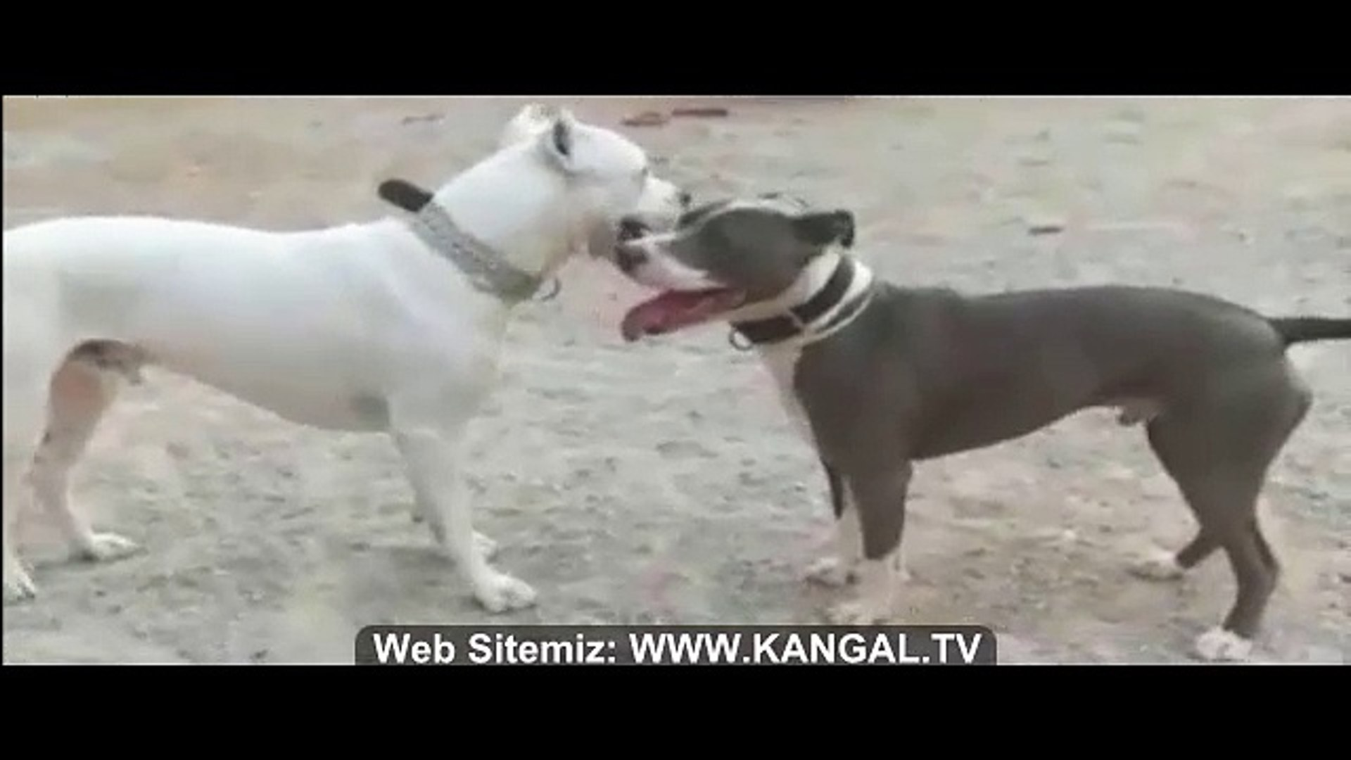 DOGO ARGENTiNO vs PiTBULL TERRiER