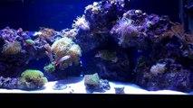 40 gallon Saltwater Reef - Soft Corals, LPS & SPS Corals. No Sump, No Protein Skimmer-uZpEiMDdqZU