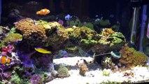 Low Tech 10 gallon Nano Saltwater Reef Aquarium. Soft Corals, LPS Corals & Coralline Algae-Rdk9Tj1xcQU