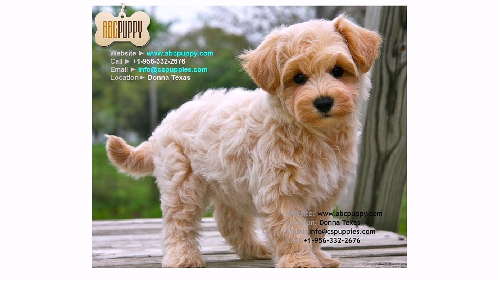 Maltipoo Puppy Breeders Maltipoo Puppies for Sale California