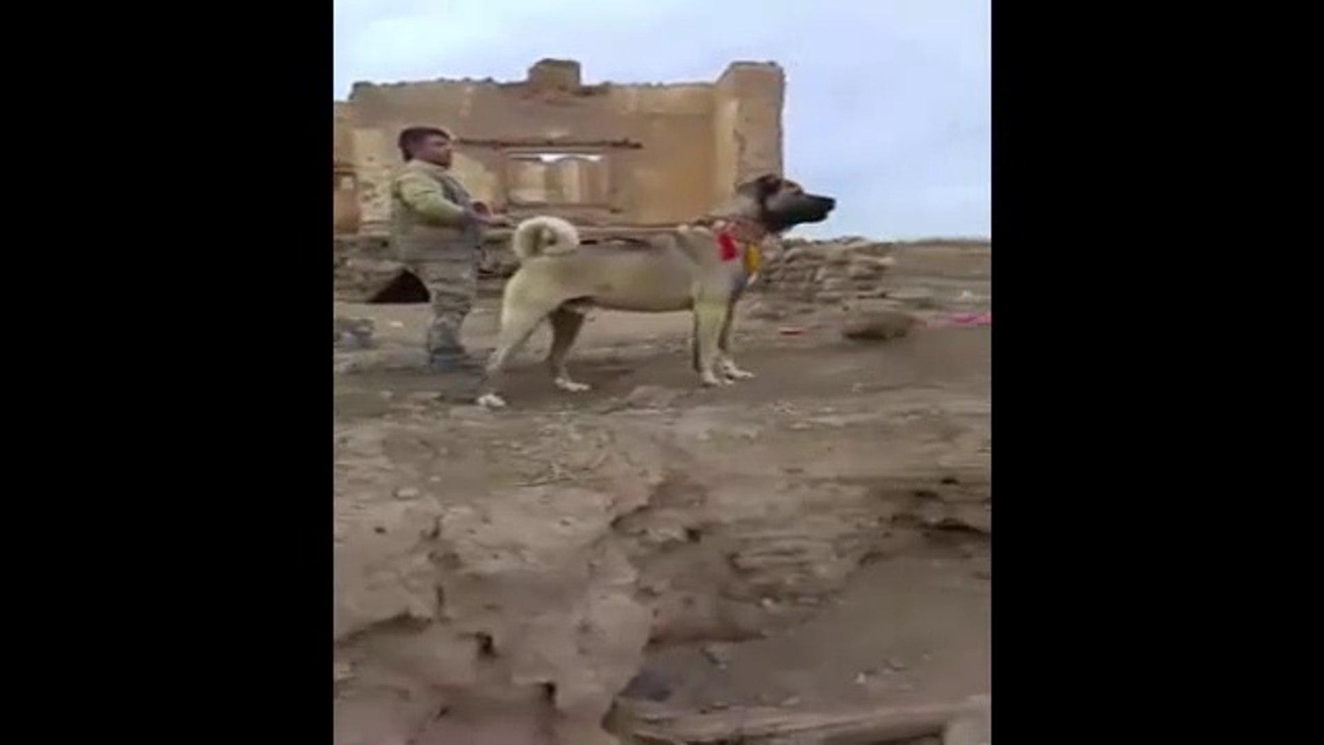 4*4 DEV ANADOLU COBAN KOPEGi - 4*4 GiANT ANATOLiAN SHEPHERD DOG