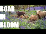 Fieldsports Channel News - British boar in bloom
