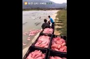 L'heure du repas pour ces centaines de crocodiles affamés! Impressionnant