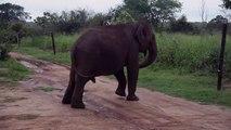 Wild elephant safely cross the electric fence - best 4k elephant shots