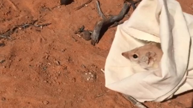 Marsupial Thought to be Extinct is Found in Sturt National Park