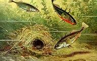 Kỳ lạ loài cá nhỏ làm tổ đẹp không thua kém loài chim