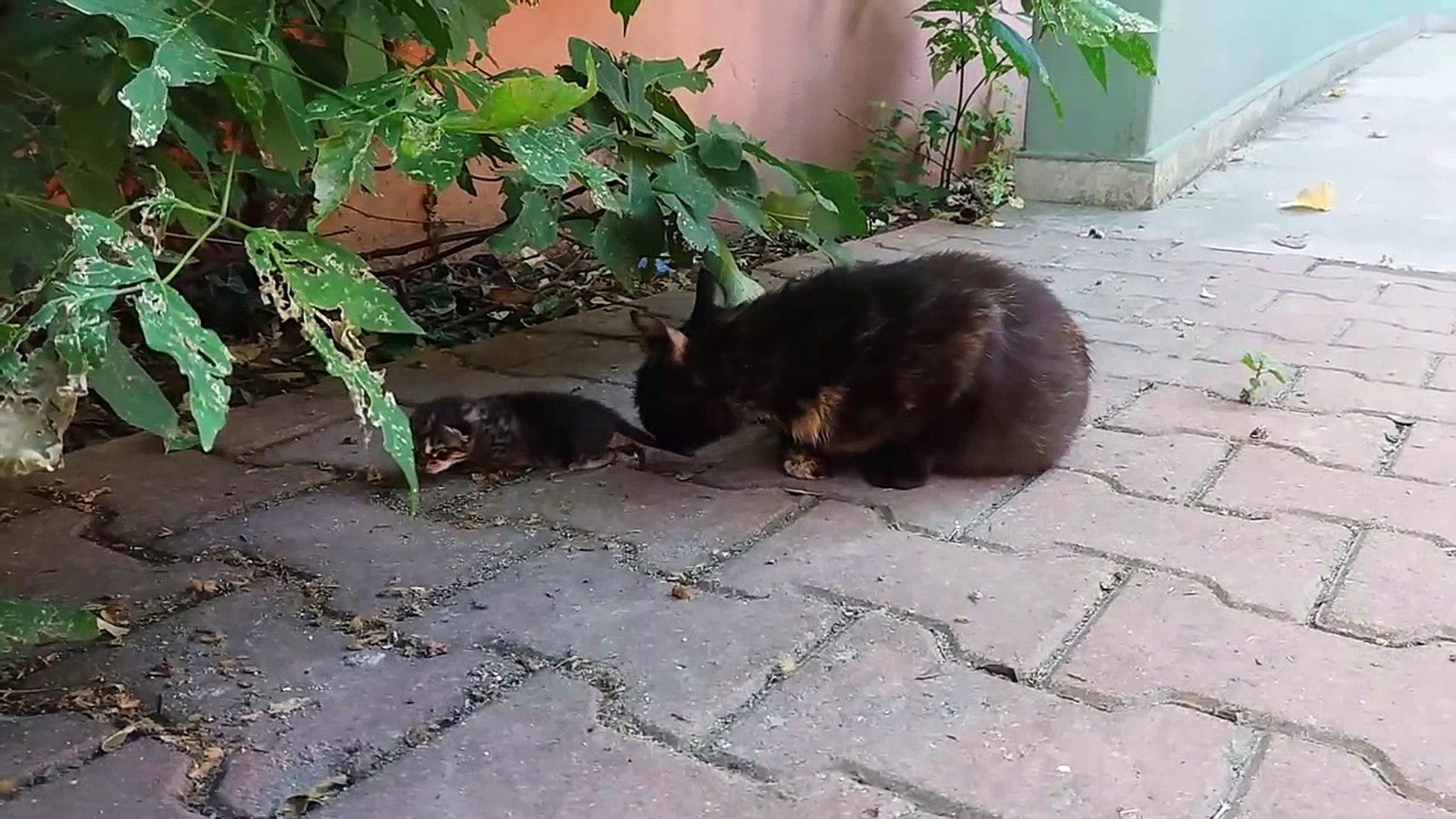 Kedi sesleri - Miyavlayan kediler ( Kediniz için farklı kedi sesleri )