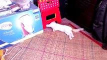 pauvre chat paraplégique... mais très joueur !