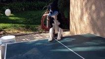 Le premier chien joueur de ping pong