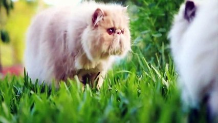 Top 5 Most Beautiful Cat Breeds In The World