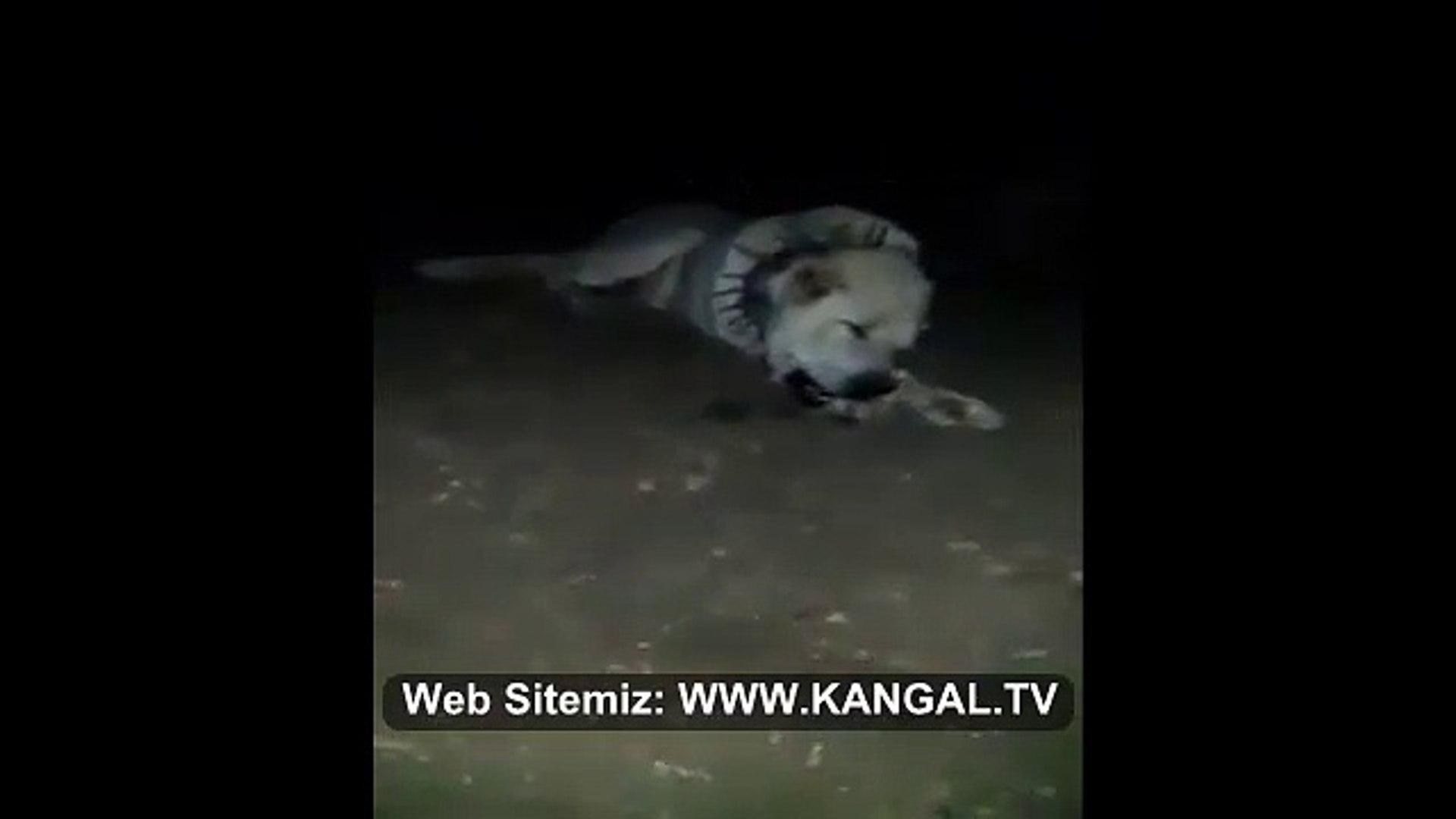 KEMiK KIRAN AKBAS COBAN KOPEGi - Anatolian Shepherd Dog Akbash