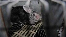 Les coulisses de l'élevage de lapins pour fourrure de luxe dévoilées dans une vidéo de L214