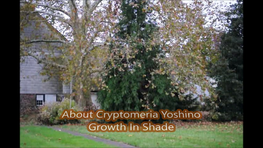 About  trees that  grow  Fast and are Deer Resistant...Cryptomeria Yoshino