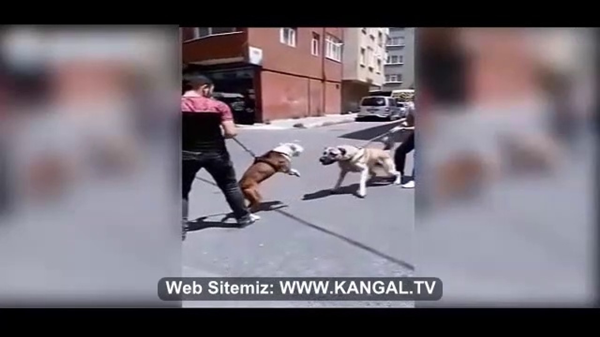 PiTBULL ve ANADOLU COBAN KOPEGi ATISMA - PiTBULL DOG vs ANATOLiAN SHEPHERD DOG