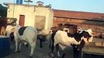Bulls Getting ready for 2 0 1 6 ♥ MA SHA ALLAH - Lahore Cow & Bakra Mandi