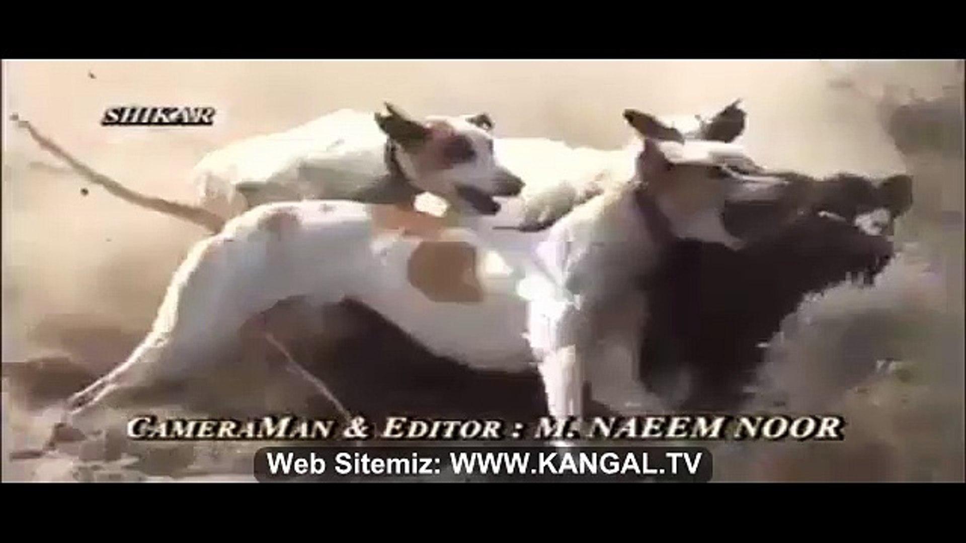 AV KOPEKLERi vs DOMUZ - HUNTiNG DOGS vs PiG