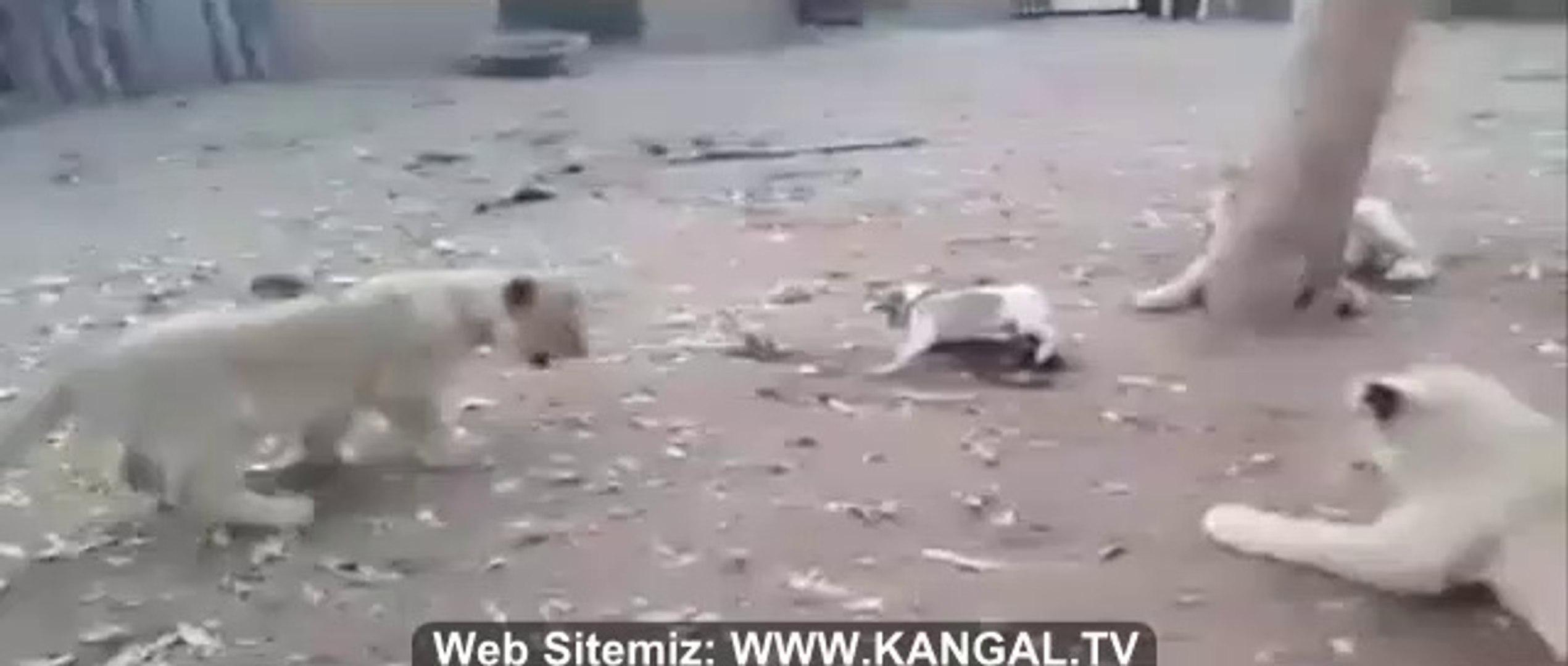 3 ASLAN vs 1 SUS KOPEGi - 3 LiON vs 1 FANCY DOG