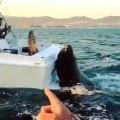 Ce gros phoque grimpe sur un bateau pour demander un poisson
