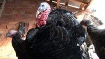 - Organik hindiye yılbaşı rağbeti- Hindi diyarı Eflani'de organik hindiler kapış kapış satılırken, üreticilerin yüzü gülüyor