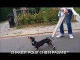 kiki avec son chariot pour chien paralysé