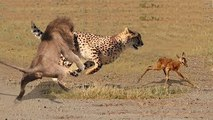 MUST SEE! Lion Save Baby Impala From Leopard Attack - King Cobra vs Snake, Python