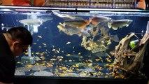 Il nourrit ses poissons carnassiers avec des centaines de poissons rouges... A table