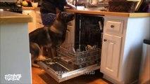Quand ton chien t'aide à faire les taches ménagères... Berger allemand adorable