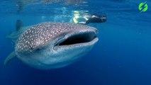 L'expérience magique de nager avec un requin baleine... Des images magnifiques
