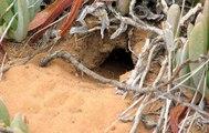 Cái tổ sâu trong lòng đất của loài chim nhỏ nhất nước Úc