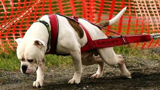 American Bulldog Johnson Vs Scott Difference Explained Video Dailymotion