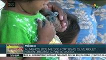 México: liberan al mar a miles de tortugas olive ridley en Oaxaca