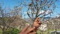 Yalancı baharda badem ağaçları meyve verdi