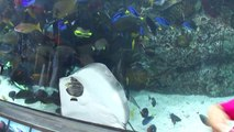 Cette raie essaie de manger un poisson, collée contre la vitre de l'aquarium... pas facile