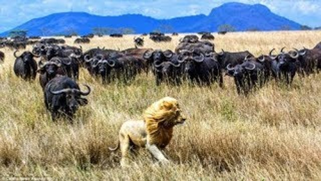 Amazing 500 brothers buffalo chasing the lion to occupy the lake buffalo vs lions