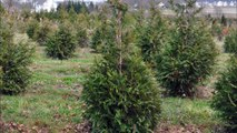 About the 2018 Snow Bomb That  May Damage Your Leyland Cypress Trees
