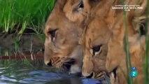 AFRICA  ANIMALES SALVAJES,LOS LEONES,LEONES CAZANDO,LEONES,ANIMALES ASESINOS,LEONES PELEANDO