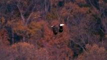 Bald Eagle - Flying, Hunting, Eating .