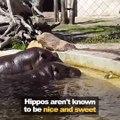 Quand 2 hippopotames viennent en aide à un petit caneton... Adorable