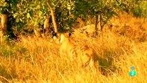 ANIMALS  LEONES US BUFALOS 2 - ANIMALES SALVAJES - DOCUMENTALES - NATURALEZA - FAUNA - LEÓN