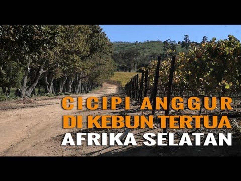 CICIPI ANGGUR DI KEBUN TERTUA AFRIKA SELATAN, GROOT CONSTANTIA