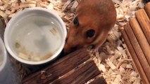 Hamster clip   Hammy