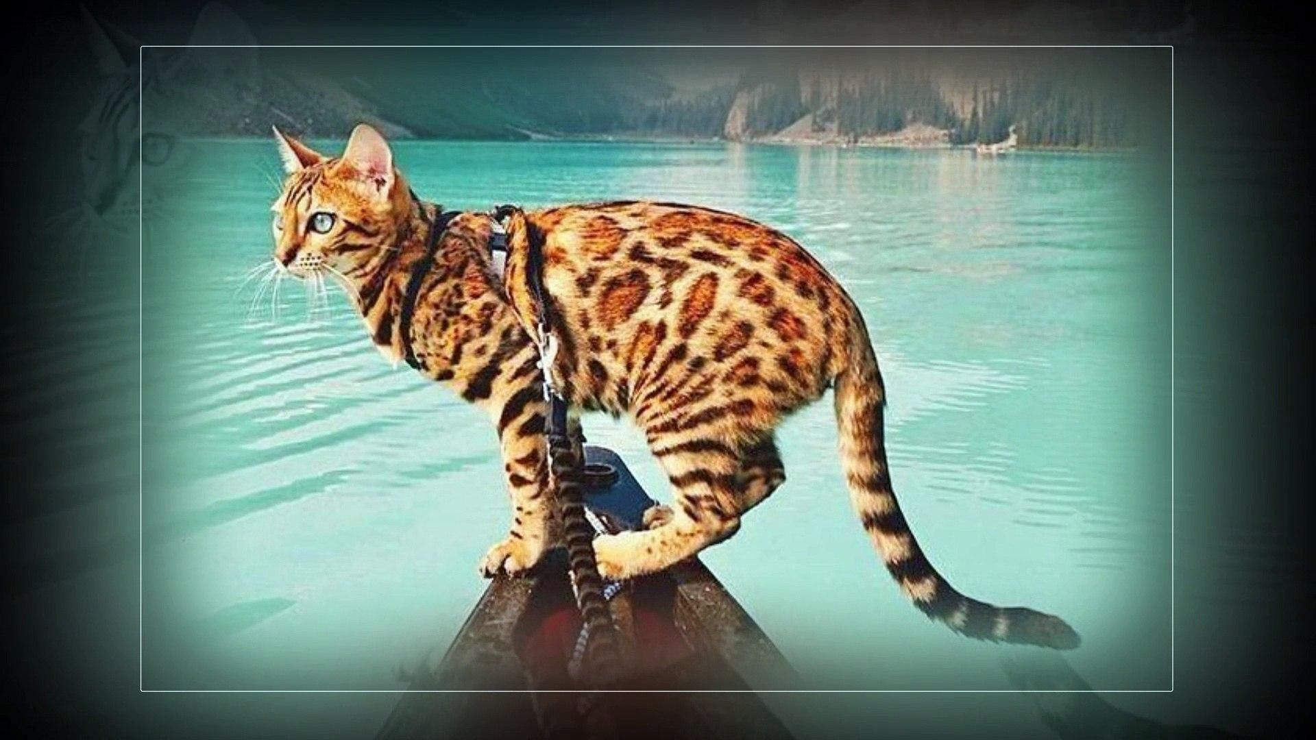 Bengal cats ! Beautiful cats !