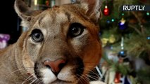 This Adorable Pet Puma Named Messi Will Melt Your Heart