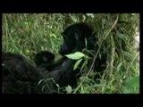 Mountain Gorilla conservation, Uganda