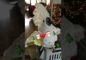 Harley the Cockatoo Celebrates Christmas by Screaming into a Cup